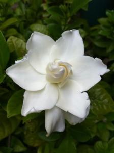 gardenia 33